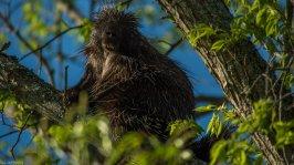 Porcupine - Riverpoint Conservation Area, Portland, Maine