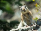 Ground Squirrel - Glacier National Park - Bowmen Lake