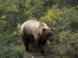 Brown Bear (Grizzly) - Denali National Park