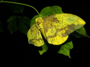 Imperial Moth at night - West Virginia