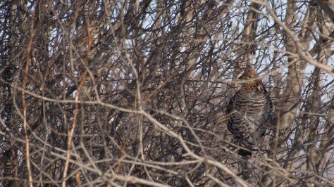 Ruffed grouse at Sax Zim Bog