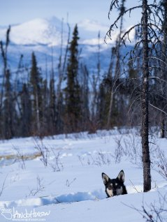 40 miles into the White Mountains, Alaska, one of our sled dogs takes a chance to see what we are doing. Or maybe he's looking at the amazing landscape behind us, too?
