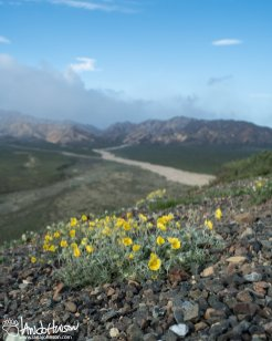Cinquefoil waves in the breeze from the Polychrome Overlook in Denali National Park, Alaska.