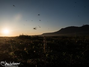 The tundra of Alaska is renowned for its clouds of mosquitoes. During solstice they didnt' dissappoint!