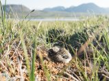With me in the front and the mountains in the back, this baby Longspur had nowhere to go.