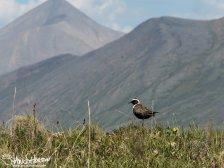An American Golden Plover sits over its territory north of Atigun Pass, Brooks Range, Alaska.