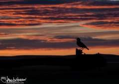 A meadowlark sings to an incredible midwestern sunset at Benton Lake National Wildlife Refuge, Montana.
