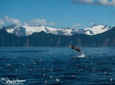 A humpback whale does a full breach out of the water outside of Resurrection Bay, Seward, Alaska.