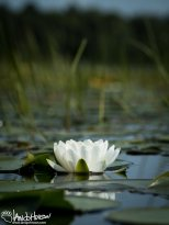 A single lily floats on the water in a midwestern lake.