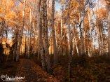 Pure autumn gold of Alaskan Birches at Creamers Field, Fairbanks, Alaska.
