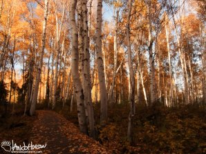 Pure autumn gold of Alaskan Birches at Creamers Field, Fairbanks, Alaska.