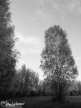 A lone birch stands out from the edge at Creamer's Field, Fairbanks, Alaska.
