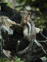 Ground Squirrel - Numa Lookout Trail, Glacier National Park