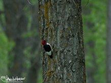 Red-headed Woodpecke