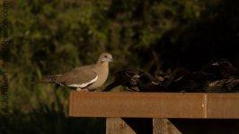 White-winged Dove (Zenaida asiatica)