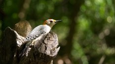 Golden-fronted Woodpecker (Melanerpes aurifrons)
