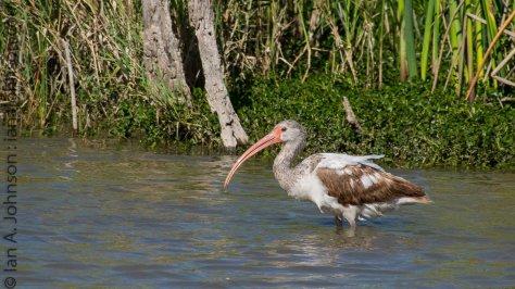 White Ibis - Estro State Park