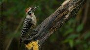 Ladder-backed Woodpecker (Picoides scalaris)