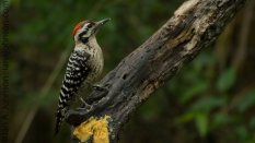 Ladder-backed Woodpecker (Picoides scalaris)