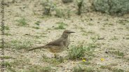 Long-billed Thrasher (Toxostoma longirostre )
