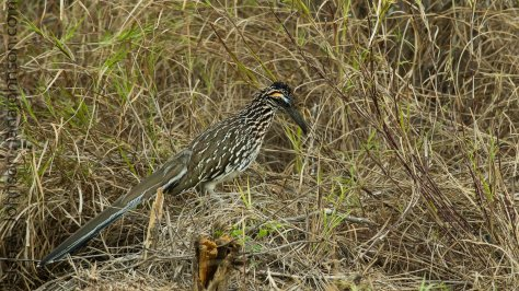 The Road Runner - Falcon State Park