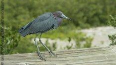 Little Blue Heron (Egretta caerulea )