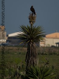 Harris's Hawk (Parabuteo unicinctus) - Atascosa National Wildlife Refuge