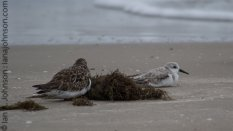 Ruddy Turnstone (Arenaria interpres ) and Sanderling (Sanderling) - Padre Island National Seashore