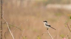 Loggerhead Shrike (Lanius ludovicianus )