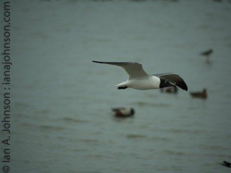 Laughing Gull (Leucophaeus atricilla) - Corpus Christi, Texas