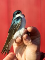 Working at a banding station allows you to see a lot of birds up close. This tree swallow was captured at River Point Conservation Area, Maine