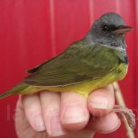 Mourning Warbler, Riverpoint Conservation Area, West Falmouth, Maine