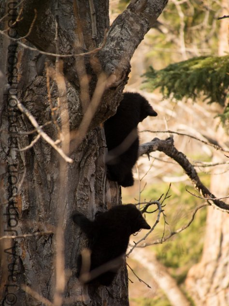 Two cubs playing 'cub scouts' up the tree trunk.