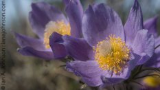Pasque Flowers are the first flower to bloom in Fort Yukon, AK. Here they have just emerged on 05/15/14