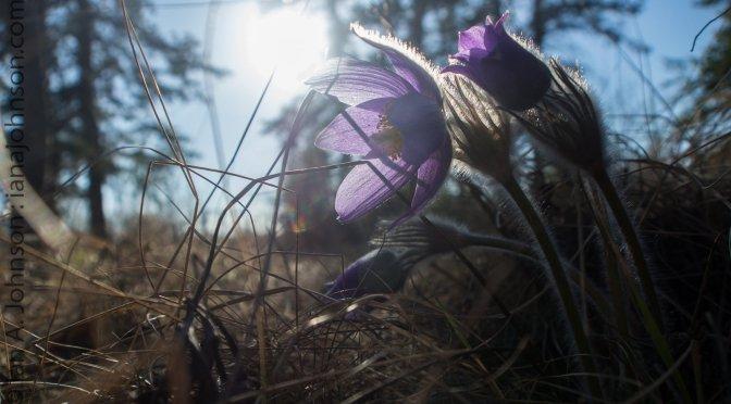 Fort Yukon, Alaska : Celebrating Spring!