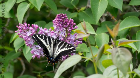 This tiger swallowtail was feeding on the first lilacs of the year. They are stunning and beautiful!
