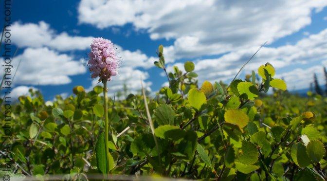 Alpine Summer in Full Bloom : Wickersham Dome, AK