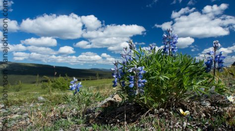 Lupines along the trail to Wickersham Dome
