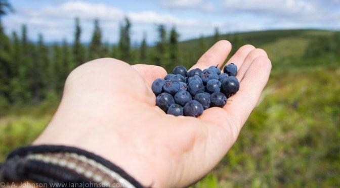 It's Blue Season! : Wild Berries in Alaska