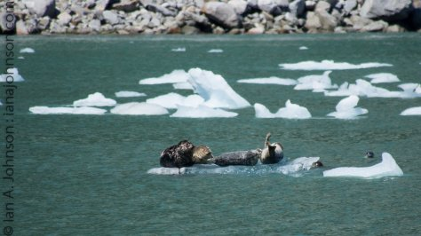 Harbor seal mothers rest themselves and their pups on ice flows which have broken away from the tide-water glaciers.