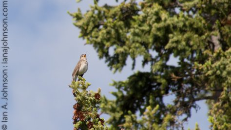 A gray cheek thrush calls in its unique voice from the top of the spruce.