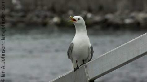 A black-legged kittiwake takes a break from swooping over the pink salmon stacked up behind the weir.