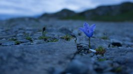 A lone blue-bell flower grows in the rocks on one of the pulloffs along the Richardson Highway.