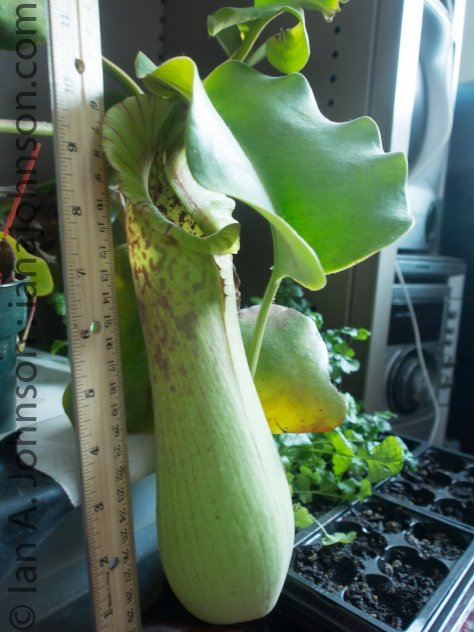 2c... Nepenthes Trucata pitcher after 6 years of growth.