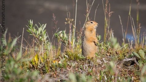 Arctic ground squirrels actually freeze during the winters. They preserve enough 'brown fat' to wake up once a month. Their body warms up, the become conscious, and then go back to sleep. Researchers think they wake up to preserve memories - amaaaaazing!