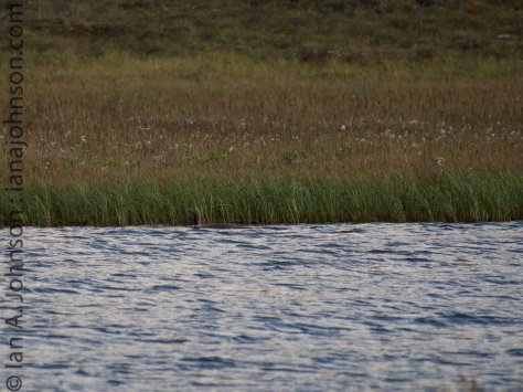 A red-throated loon watches me catiously - it had at least one chick to protect on the lake.