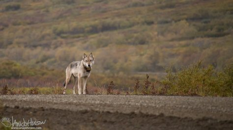 A collared Denali Wolf at the top of Sable Pass. What a treat!!
