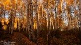 Golden Glory, the Boreal Trail at Creamers Field, Fairbanks, Alaska