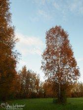 A lone birch at Creamers Field, Fairbanks, Alaska