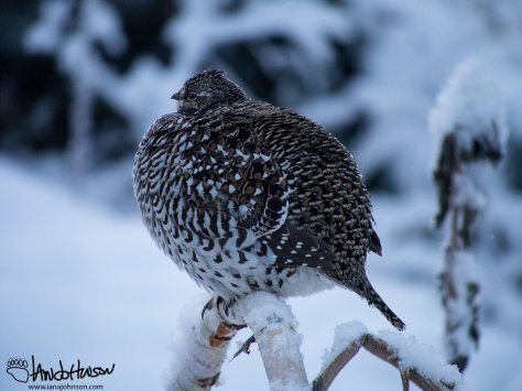 This 'sharpie' is making sure it stays warm by puffing up in the cold temps.